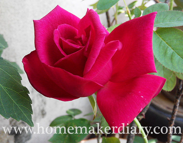 red-rose-apr-2015