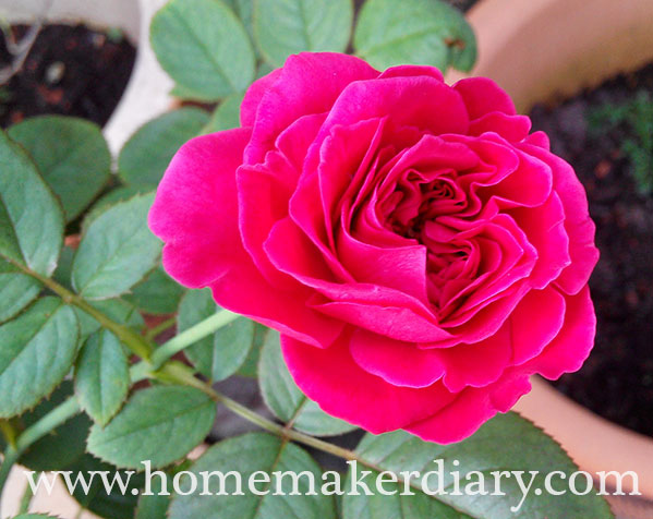 rose-rouge-royale-june2015