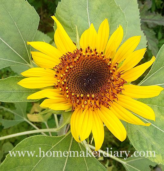 yellow-sunflower-HM