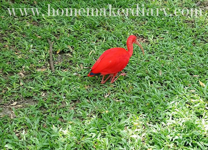 kl-birdpark-red-ibis-sekendi
