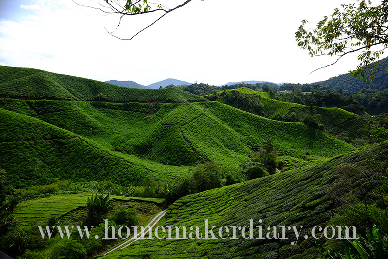 sg-palas-boh-tea-plantation-w10
