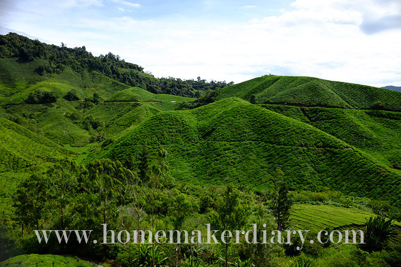 sg-palas-boh-tea-plantation-w13