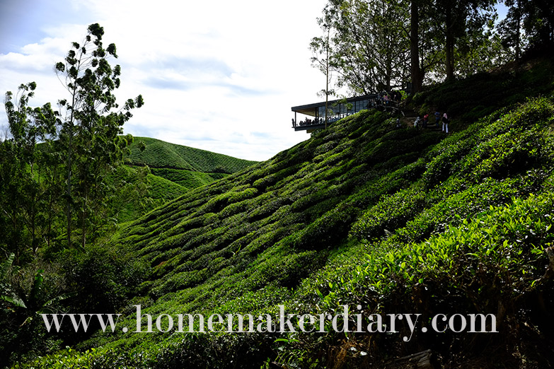 sg-palas-boh-tea-plantation-w14